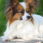The Papillon Dog Journal: 150 page lined notebook/diary - 1