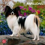 Papillons 2013 - Zwergspaniel - Original BrownTrout-Kalender - 1